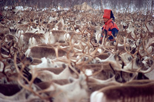Sami and herd of reindeer