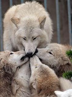 familia lobos