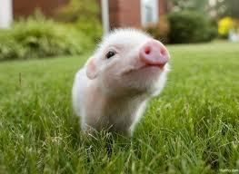 Cute pigglet