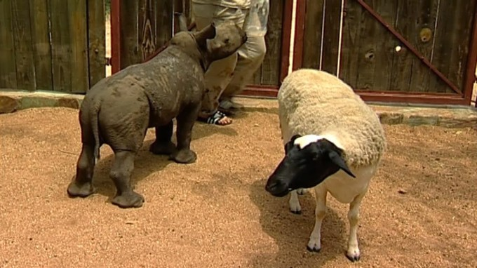 baby rhino and sheep
