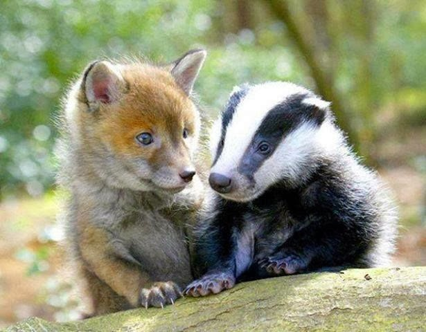 Baby fox and baby badger