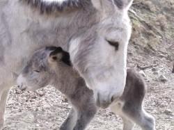 bebé burro