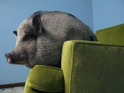 cerdo vietnamita en sofá