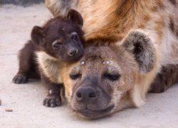 baby-hyena